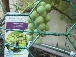Niagara Grapes - 2010-06-30